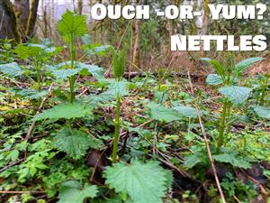 Ouch or Yum? Photo of nettles